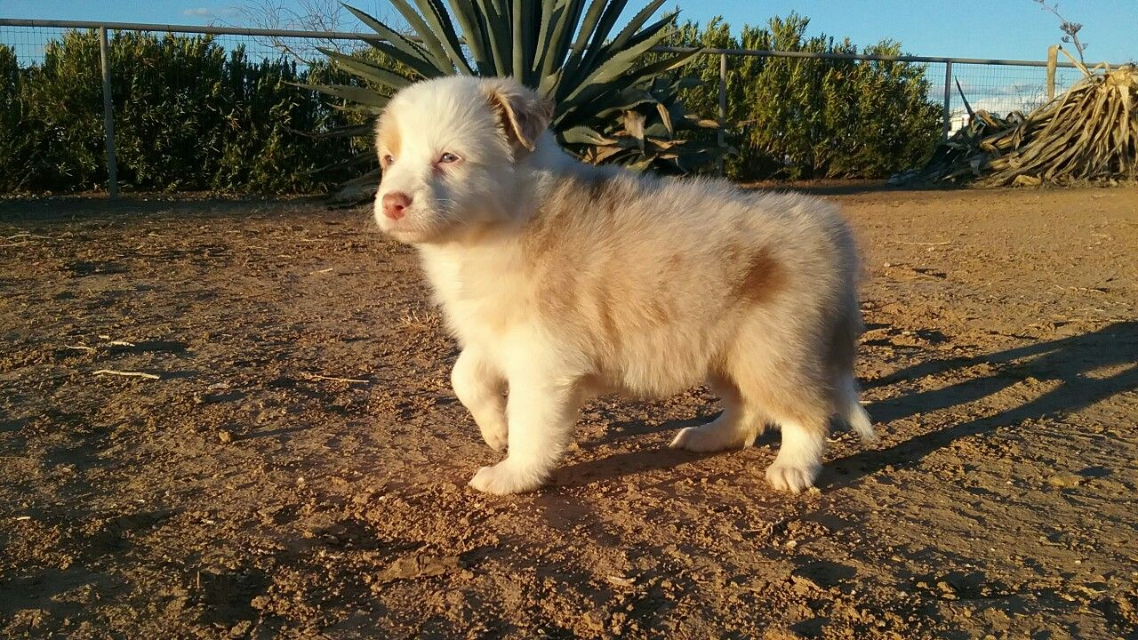 Carman Aussies, our puppy Opal at 4 weeks old. Puppies
