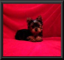 Yorkie Puppies For Sale Akc Blumoon Yorkies Yorkie Puppies View Yorky Puppies Yorkie Puppies Pictures Yor Yorkie Puppy Yorkie Puppy For Sale Puppy Pictures
