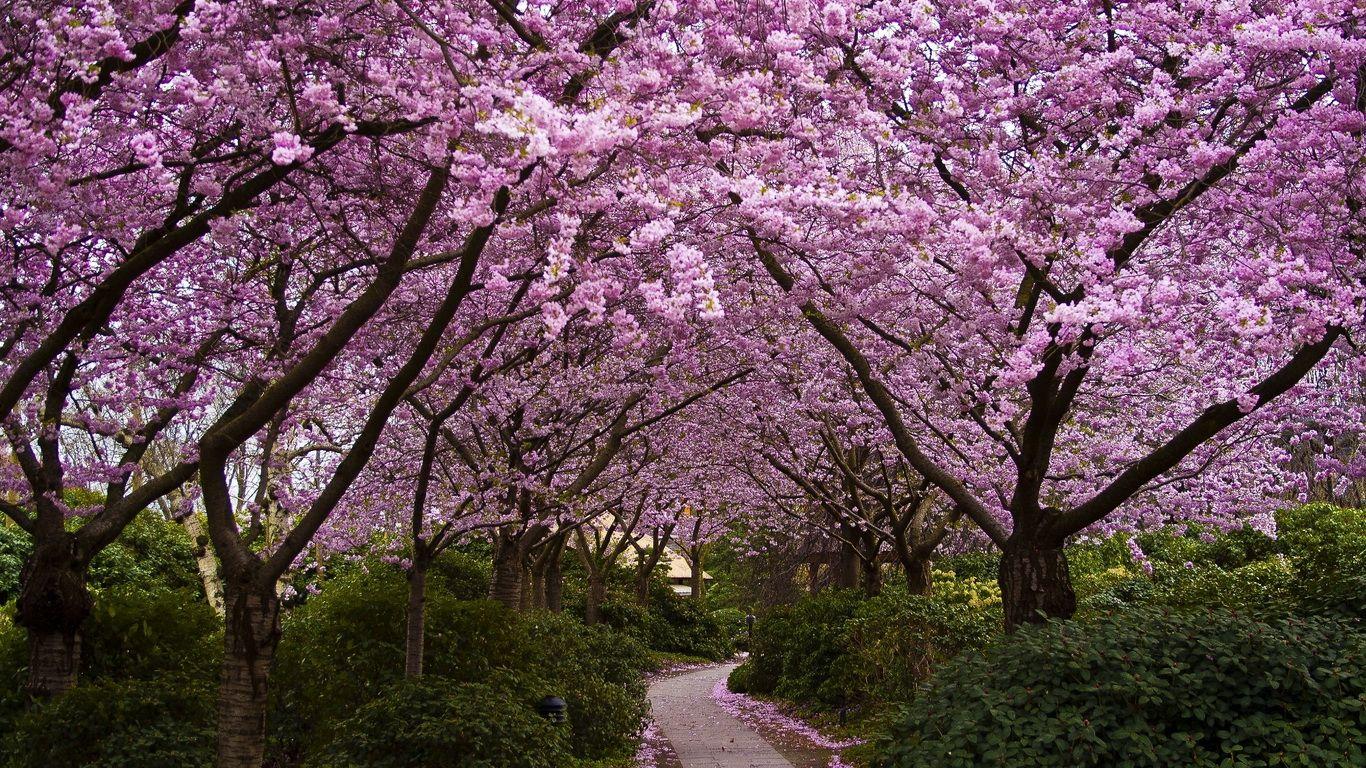 Sakura Beautiful Gardens Spring Wallpaper Blossom Trees