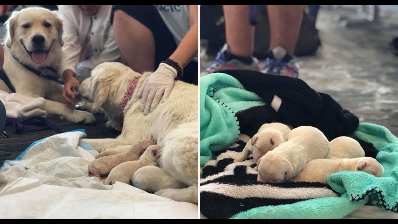 Service Dog Gave Birth To 8 Puppies In The Middle Of Tampa
