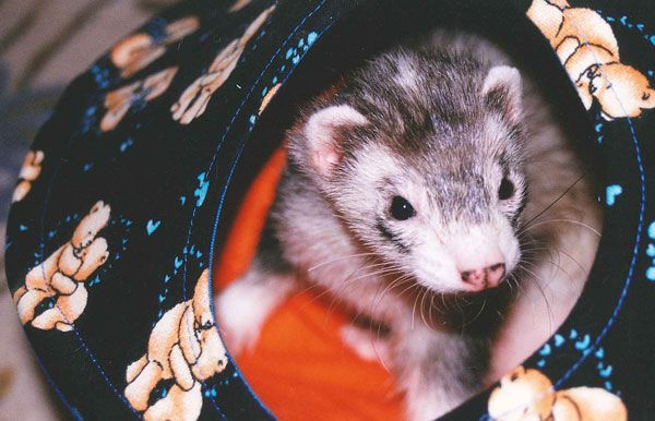 Owning Ferrets Doesn T Mean Your Home Can T Be Sweet Smelling We