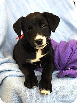 Adopted Detroit Mi Border Collie Labrador Retriever Mix