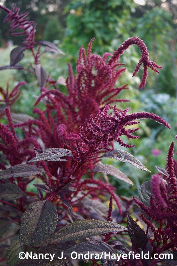 Amaranthus 'Hopi Red Dye' at Hayefield.com