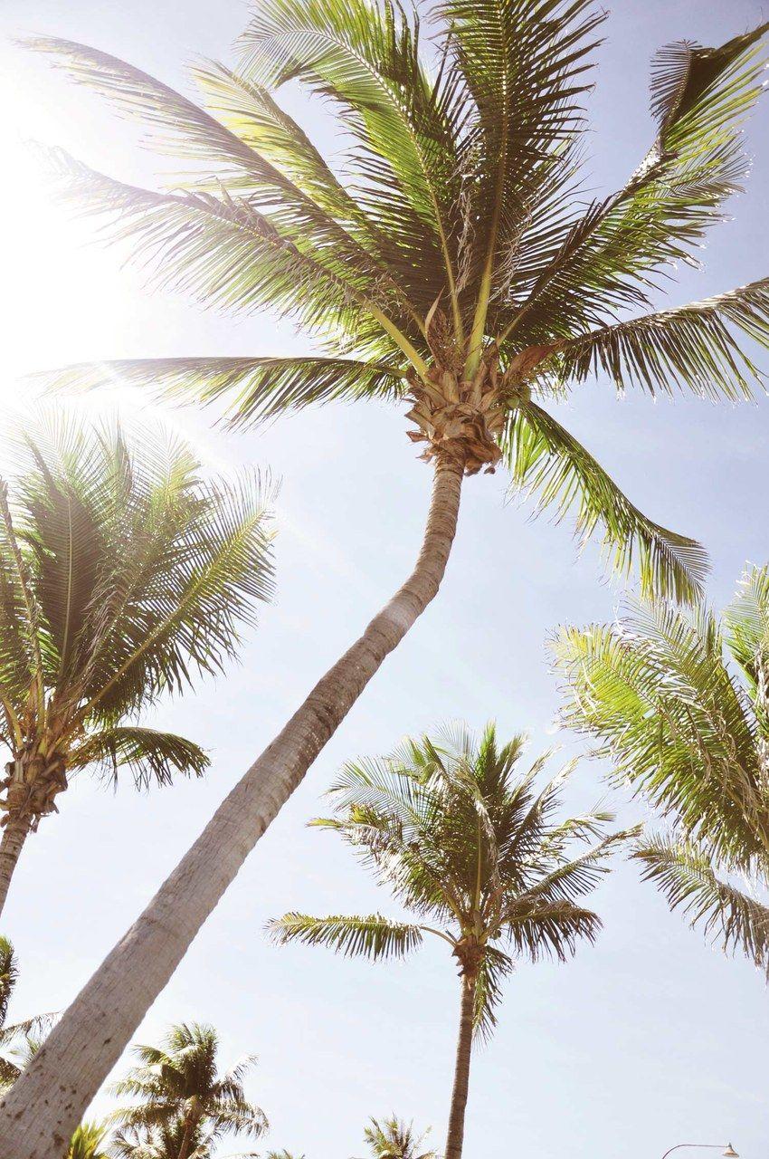 Fond d 39 cran palmiers iphone palmiers pinterest - Palmier cocotier ...