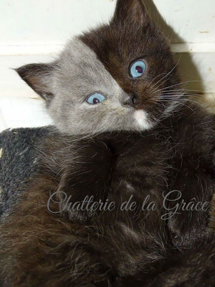 Rare Kitten Born With Two Faces Grows Up Into The Most Beautiful Cat Ever Gorgeous Cats Two Faced Cat Rare Cats