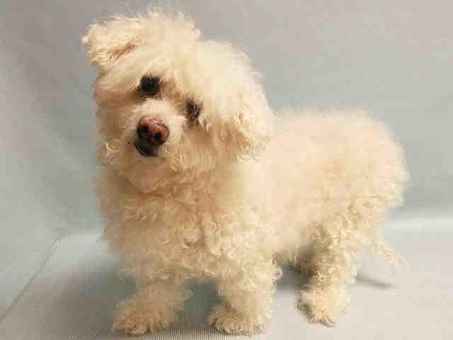 Senior Super Urgent Manhattan Nieve A1092312 Female White Poodle Mn Mix 10 Yrs Owner Sur Evaluate No Hold Reas Dog Safe Pet Adoption Animals