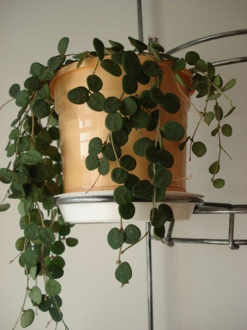 Variegated Hoya Plant Google Search House Plants