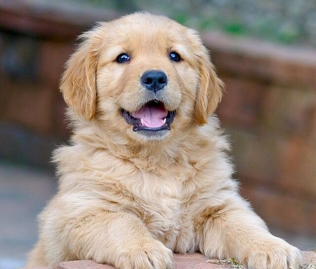 Is This A Happy Golden Retriever Puppy Or What Animals Puppies