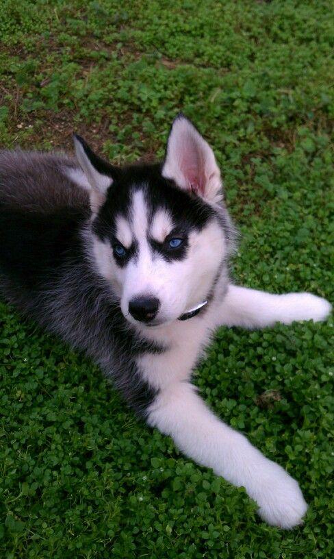 Bentley Siberian Husky Husky Puppies For Sale Siberian