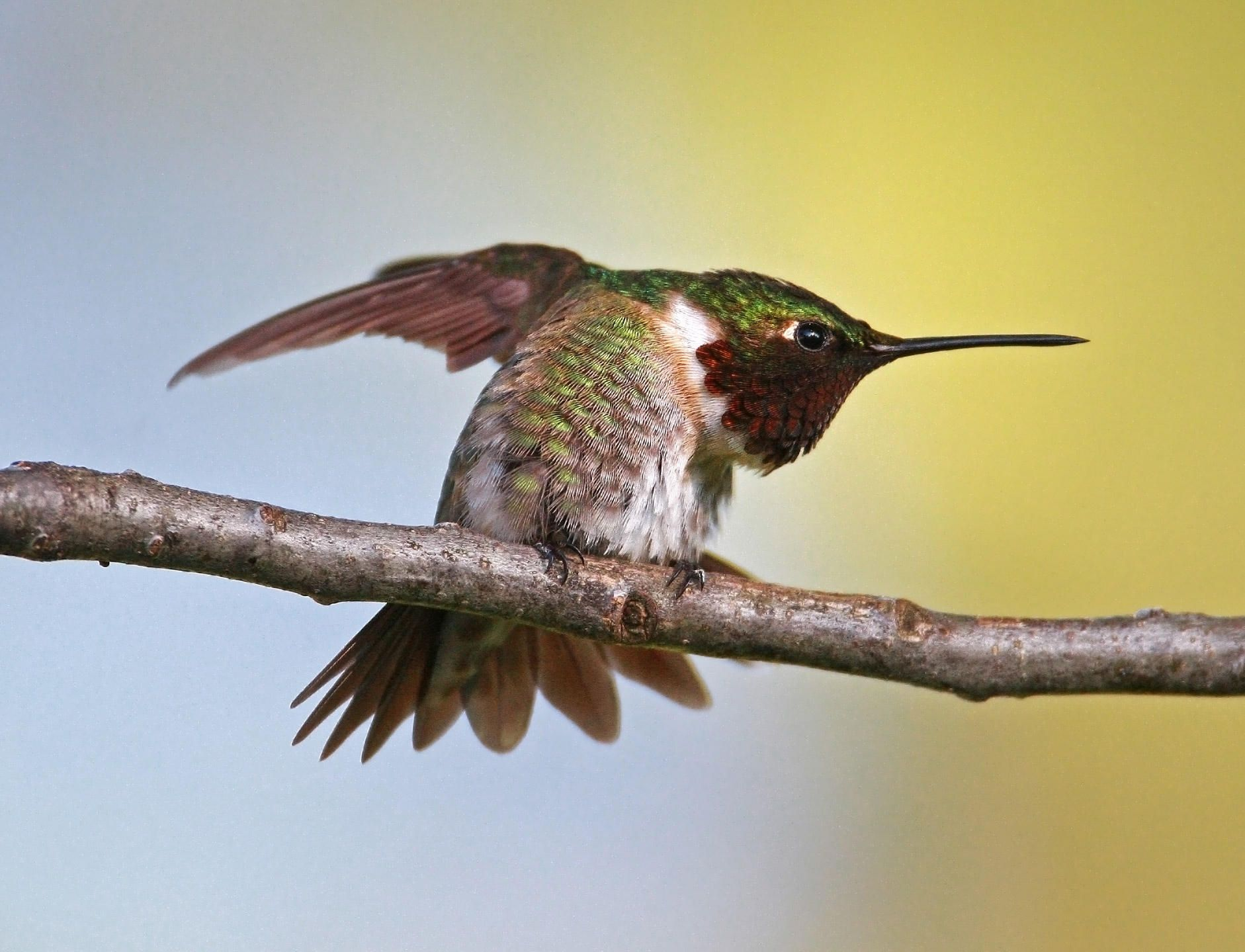 Hundreds of kinds of hummingbirds nest in the American