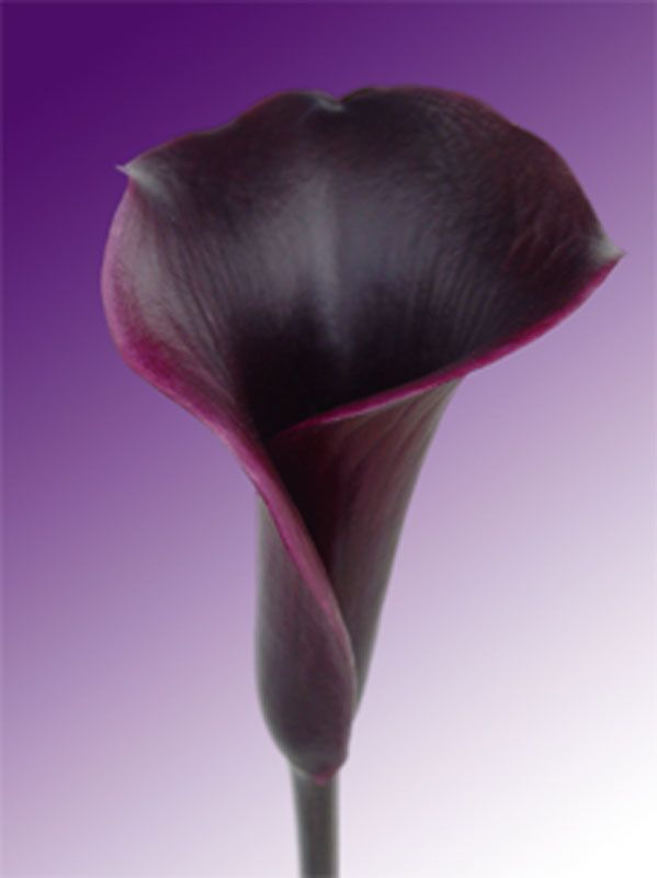 Natural Touch Flower Black Calla Lily Mini Lilies Artificial Find Complete Details About