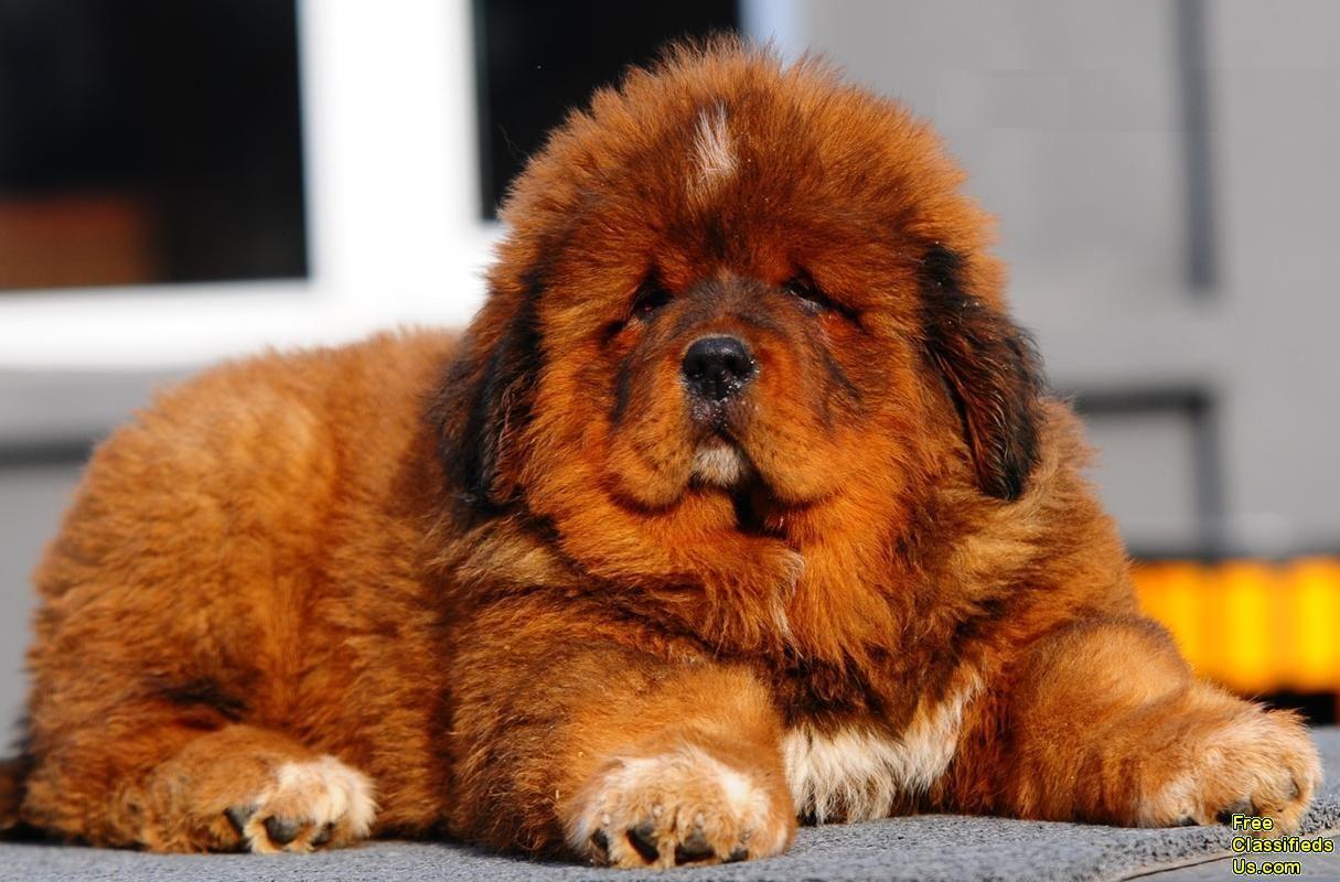 Pin By Lex Romero On Aawwweee Tibetan Mastiff Puppy Mastiff