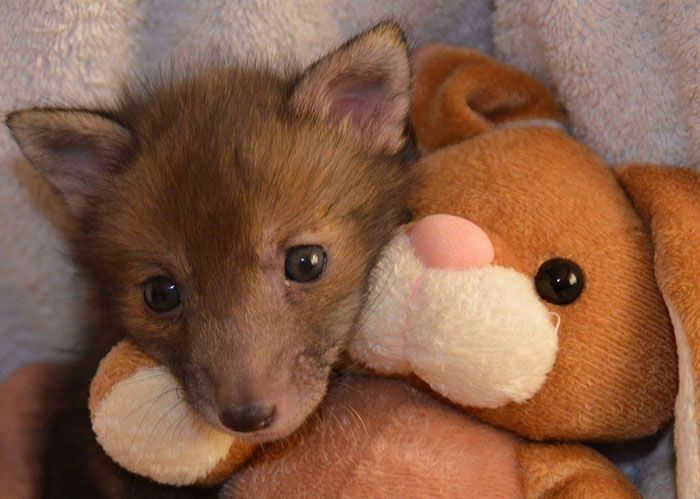 This Rescued Baby Fox Loves His New Best Friend - A Stuffed Toy!