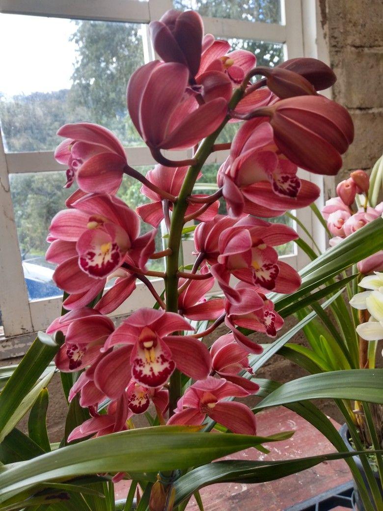 Cymbidium Orchid Beautiful Orchids