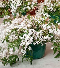 jasmine i want this plant all over my house and future. Black Bedroom Furniture Sets. Home Design Ideas
