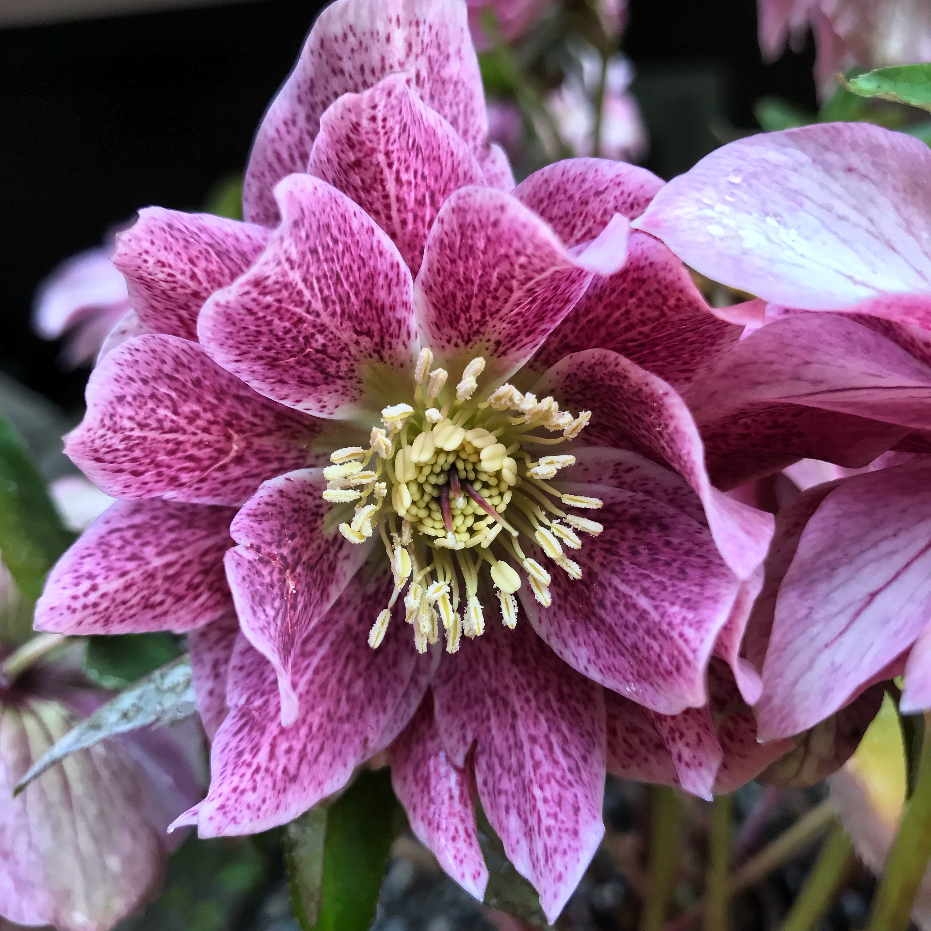 Hellebore Types Of Flowers Beautiful Flowers Photography Flowers Photography