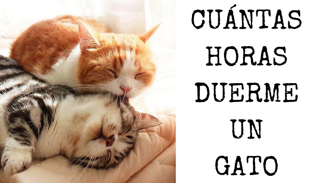 Curiosidades Y Respuestas A Todas Tus Preguntas Gatos Gato Durmiendo Mascotas