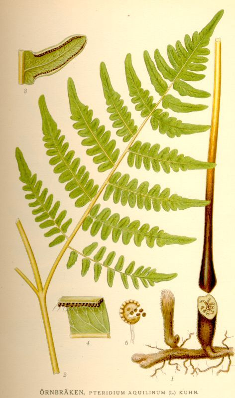 Pteridum aquilinum - Bracken fern (Dennstaedtiaceae)