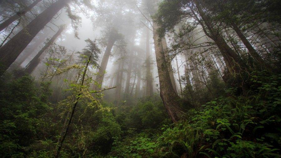 Forest Trees Mist 4k Ultra Hd Desktop Wallpaper California Landscape Forest Wallpaper Foggy Forest