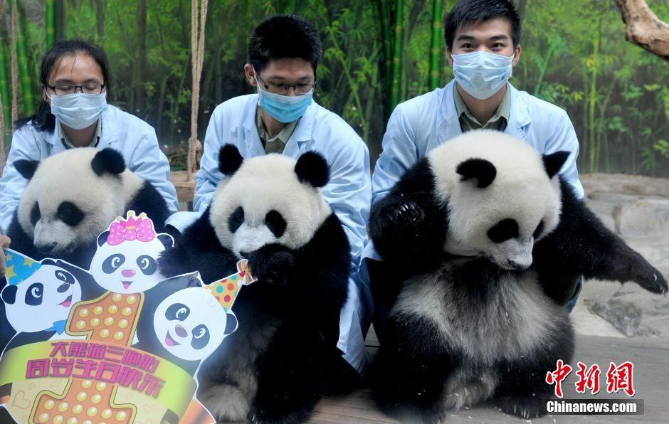 Rare panda triplets' birthday celebrated in S.China - Xinhua | English.news.cn