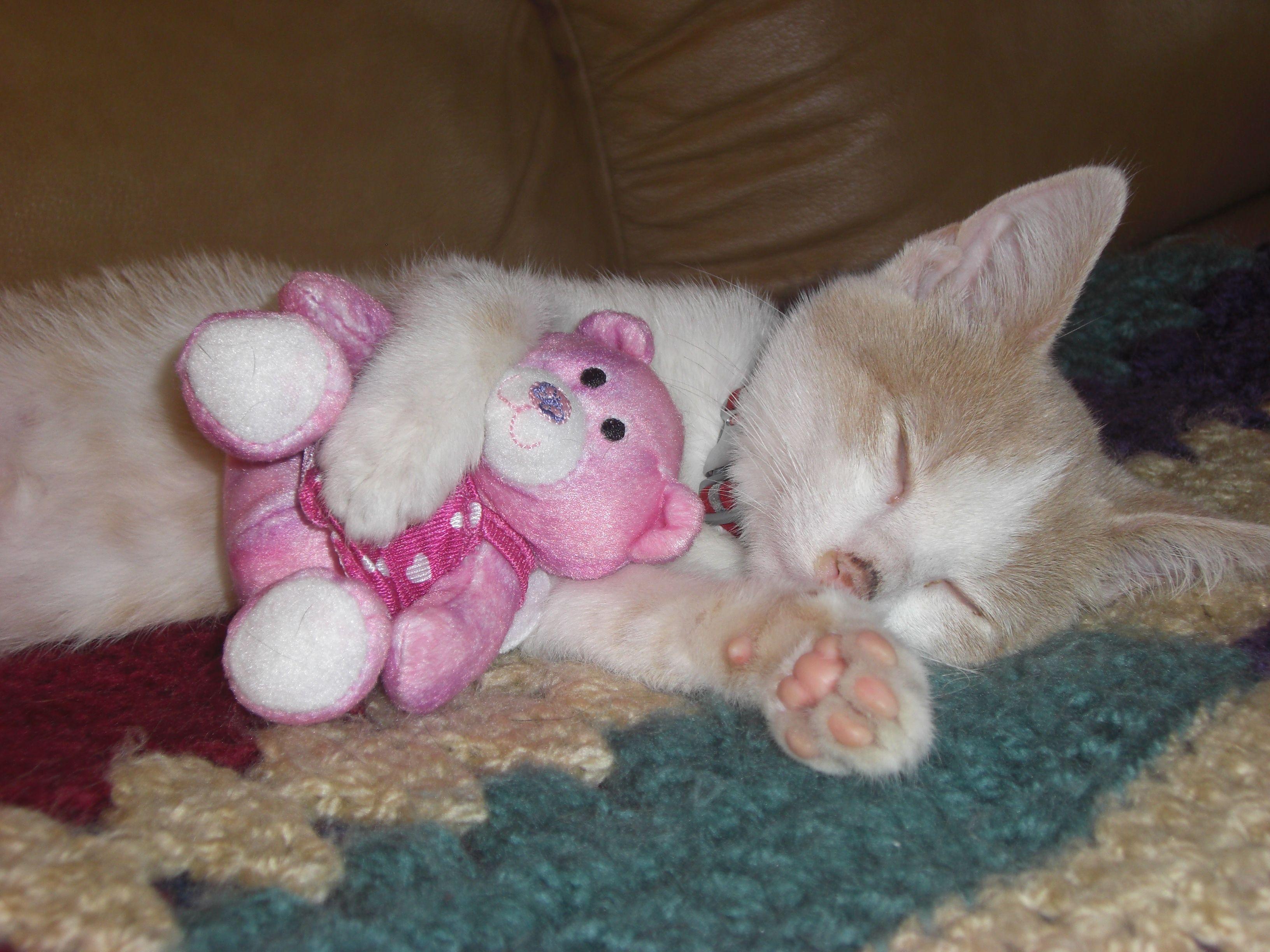 Cute Is A Kitten Hugging His Teddy Bear Cat Nap Crazy Cats