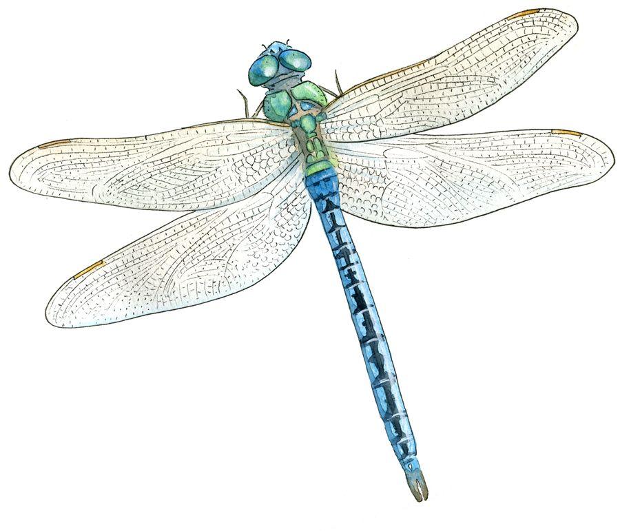 Commentaires dessin pinterest commentaire - Photo de libellule a imprimer ...