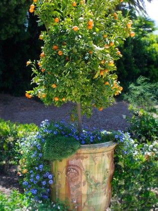 How To Arrange Pots According To Thriller Spiller Filler Technique Container Gardening Ideas Potted Trees Citrus Trees Trees To Plant