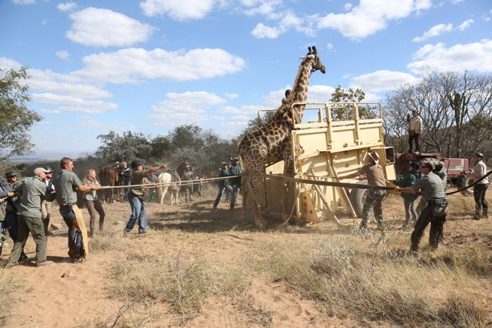 Giraffe capture on Ant Collection's game census safari...