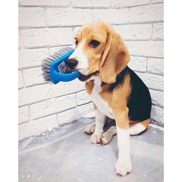 Dogs Pets Beagles Beagle Baby Beagle Beagle Cute Beagles