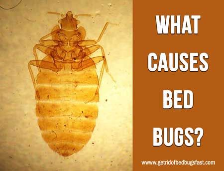 What Causes Bed Bugs Http Getridofbedbugsfast Com