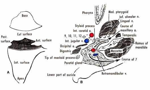 Surface anatomy. The parotid gland lies inferior to the ...