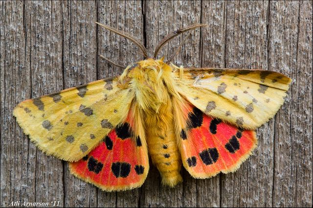 Purple Tiger moth (Rhyparia purpurata)  Flickr - Photo Sharing!