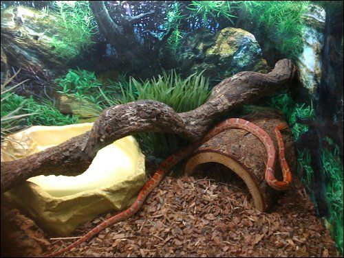 My First Proper Viv Corn Snake Vivarium Forums Animals Corn