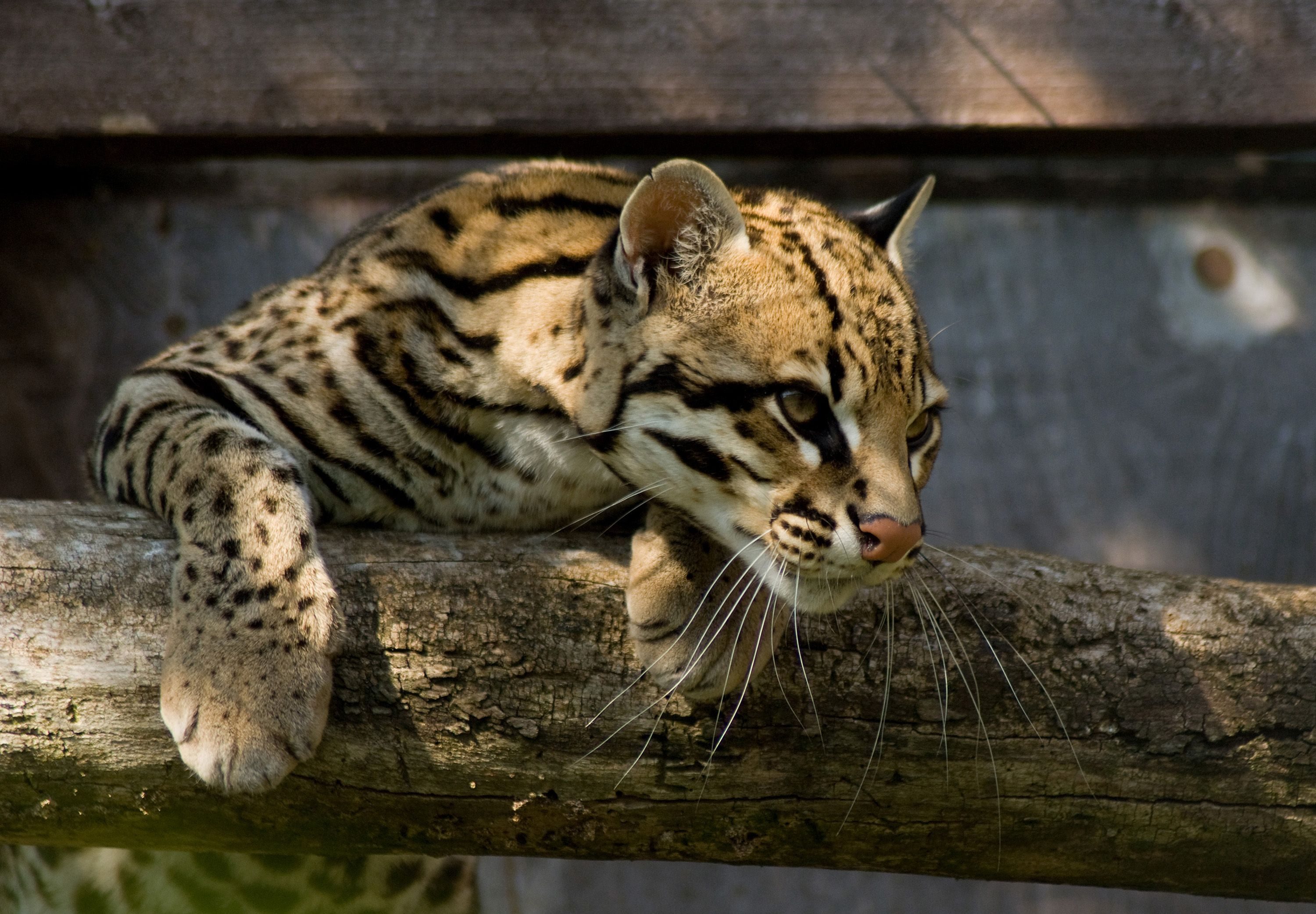 ocelot vs margay vs asian leopard cat Google Search