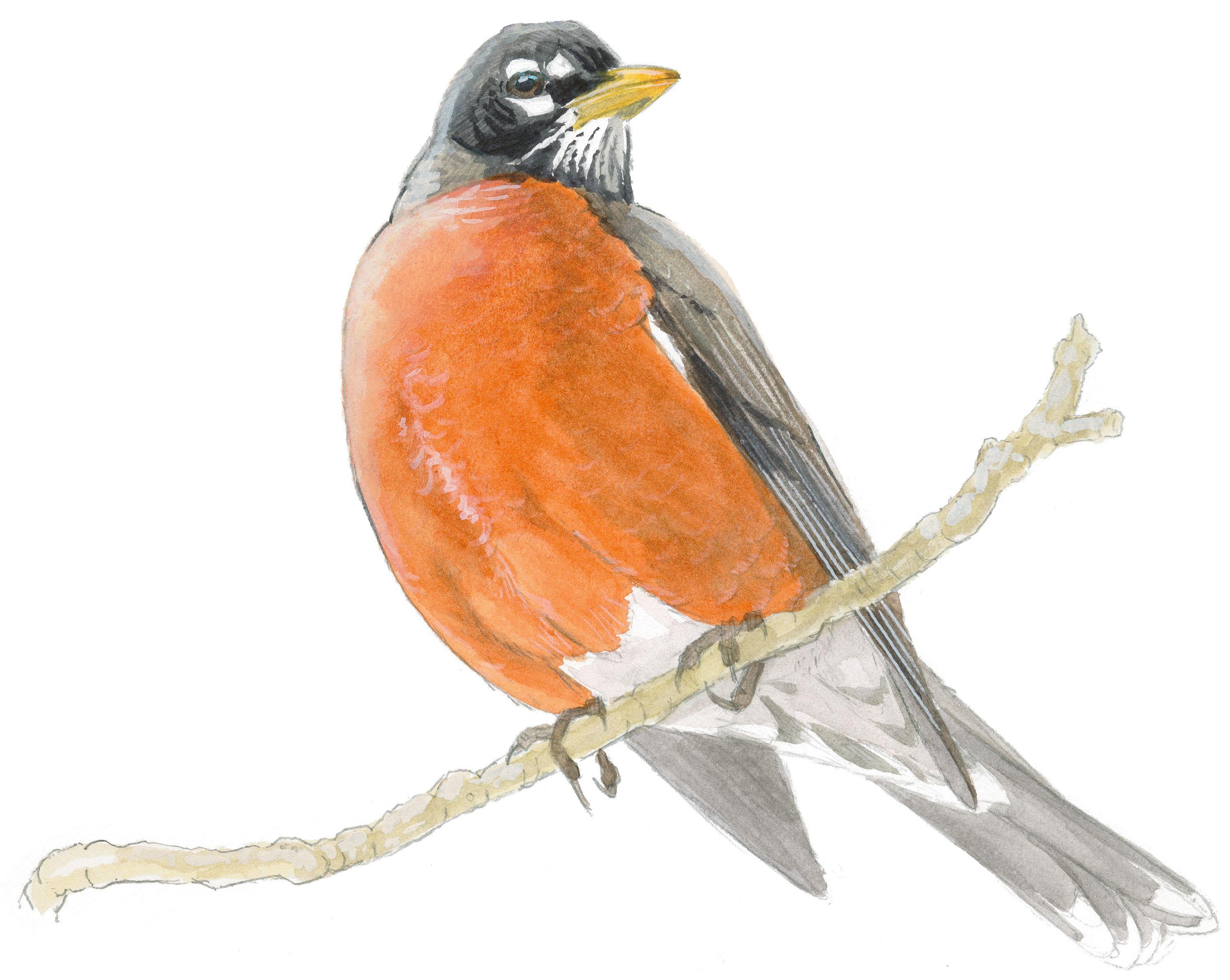 Uncategorized Robin Drawing image result for american robin art pinterest robin
