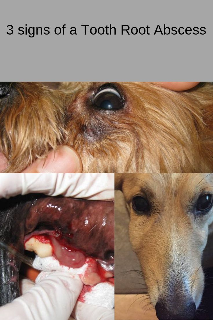 Different signs seen with dog with a tooth root abscess
