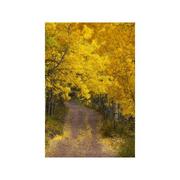 A Dirt Road Through a Grove of Aspen Trees with Golden Autumn ...