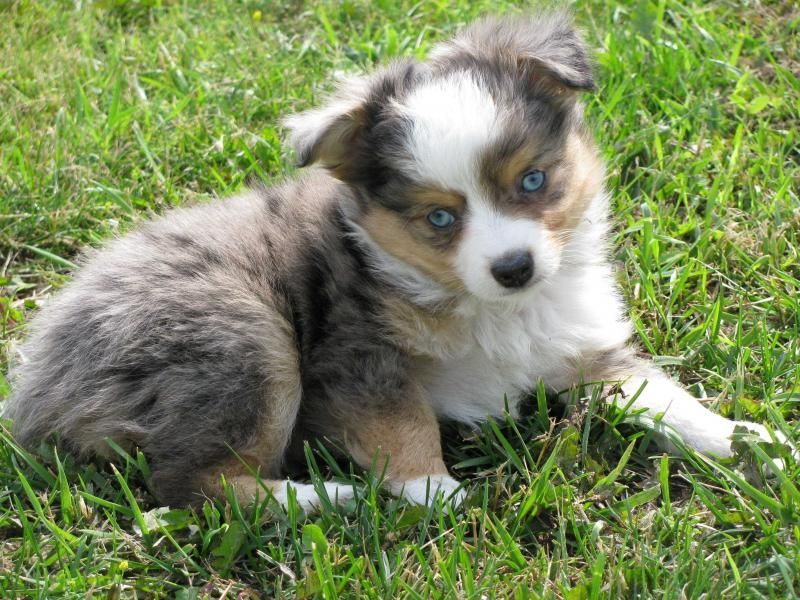 miniature aussies for sale in texas Toy+australian