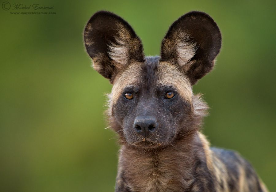 All Ears by Morkel Erasmus, via 500px