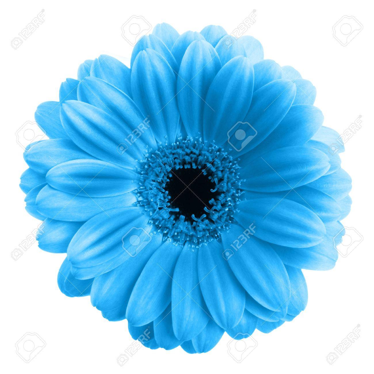 Blue Gerbera Flower Isolated On White Background Flower Graphic Gerbera Flower Flowers