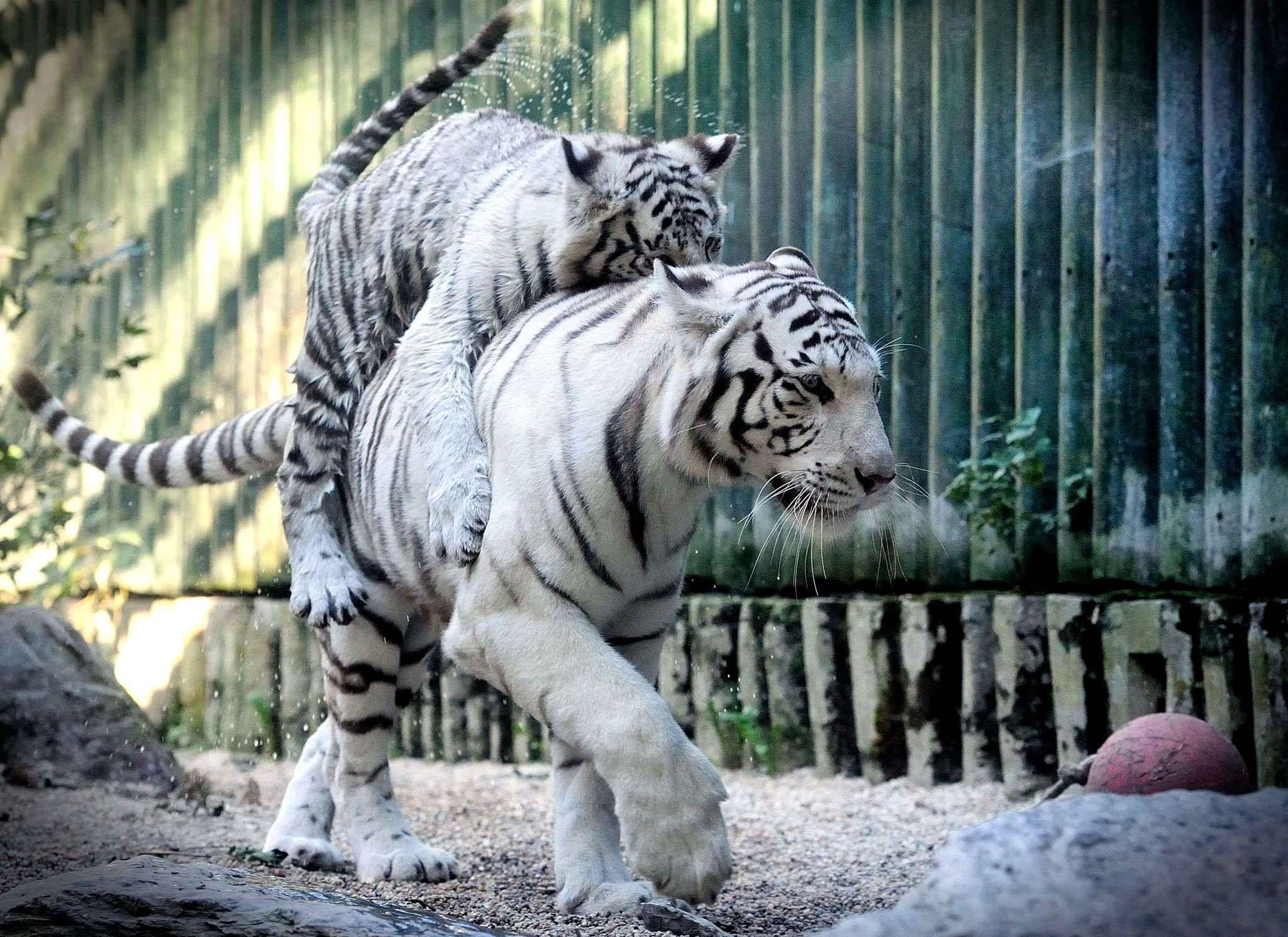 Les animaux de la semaine animaux tigres animaux et chat - Photo de tigre blanc a imprimer ...