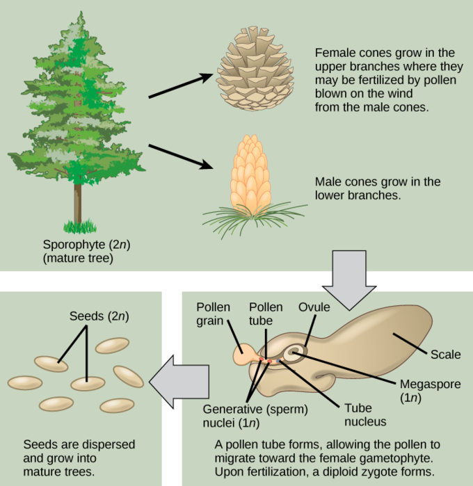 Pin By Segrid Parsons On Just Cool Gymnosperm Types Of Pine Trees Tree Life Cycle