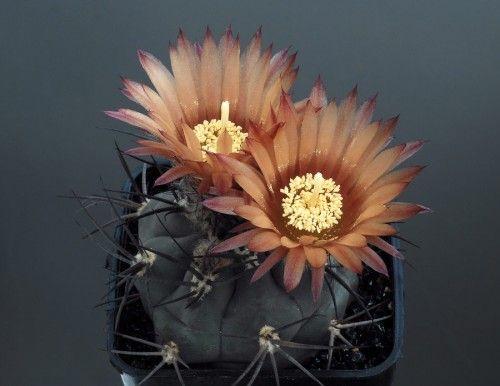 Pyrrhocactus villicumensis