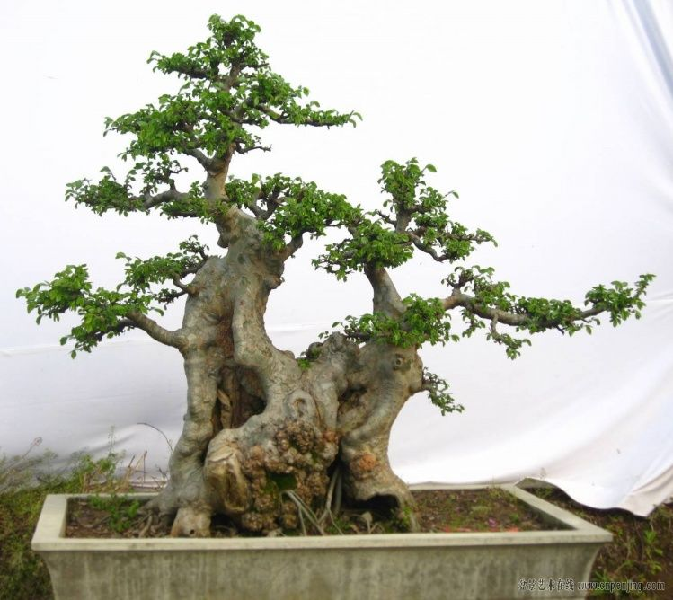 榔榆盆景欣赏 Bonsai Pinterest Bonsai Ikebana And Gardens