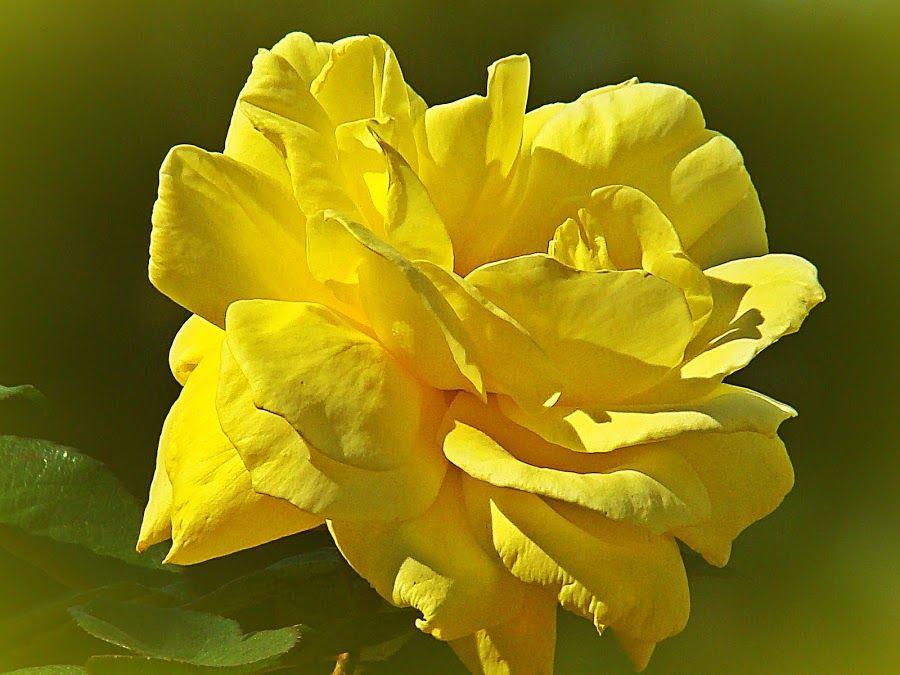 Friendship Yellow By Carmina Quesada Flowers Single Flower
