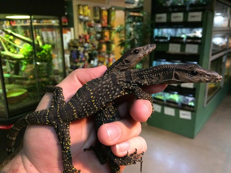 For Sale CH BLACK ROUGH NECK MONITOR BABIES