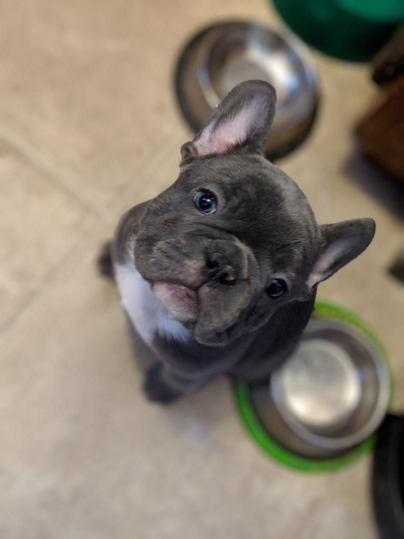 Cranberry Female Akc French Bulldog Doggie For Sale At