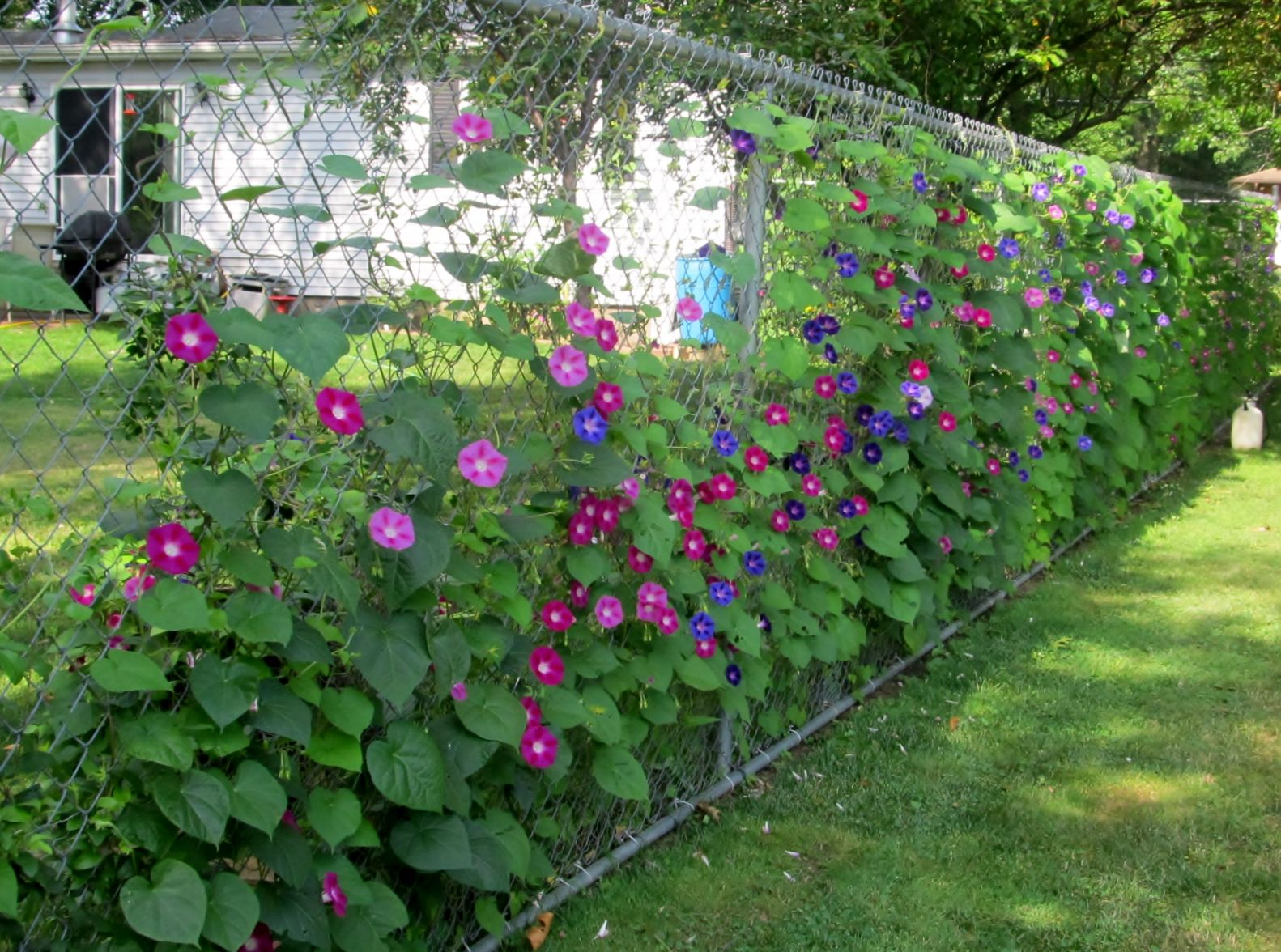 Love Morning Glories On Our Fence Fence Landscaping Backyard Plants Plants