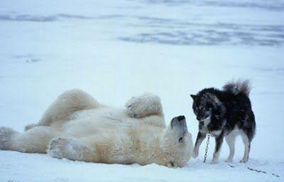 Sweet friends..a polar bear and a dog