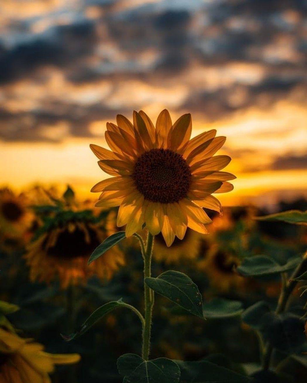 Wallpaper Iphone Wallpaper Sunflower Pictures